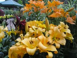 Lilies looking lovely