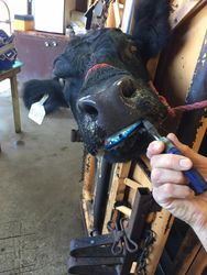 Fishing Lure Stuck in a Cow's Lip!