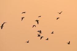Vol de mouettes - Gulls in flight