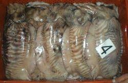 Cuttlefish unclean Mauritania