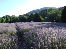 Working lavender farm