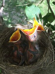 Robins 3 days old, June 19th