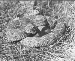 Western Diamondback Rattlesnake 1983