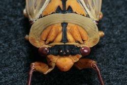 Cicada Orange 1