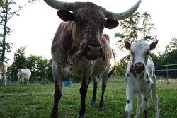 Amerillo and Calf