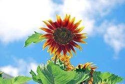 Sunflower Skies