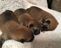 3 red males and one black and tan AVAILABLE