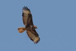 Common ('Steppe') Buzzard  -  BUSE VARIABLE