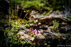 Flowers at Varragill River - Isle of Skye