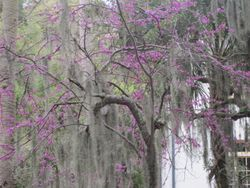 Red bud and moss