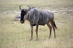 Wildebeest - Amboseli Game Reserve