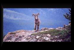 Rocky Mountain Ram standing