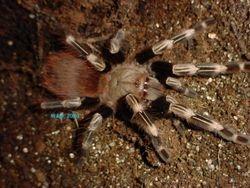 Nhandu cromatus 2003