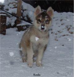 Koda 8 weeks