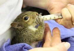 Raising a orphaned squirrel.