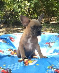 Beau:  $2695 companion after $300 neuter binder rebate, $3495 full AKC with Breeding Rights, French Bulldog male pup born 4-15-17 to Berry Pie and Geronimo