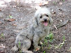 Baloo, 9 pound poodle