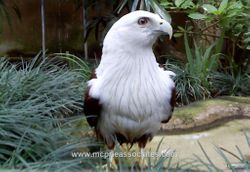 One of Beautiful Eagle at Bali Bird Park