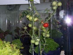 Plenty of Tomatoes