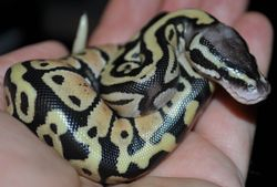 Baby Pastel Ball Python