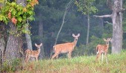 Doe Deer with twins