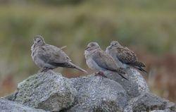 3 Doves   (3 TOURTERELLES)