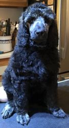 Blue after his grooming.  55 days.