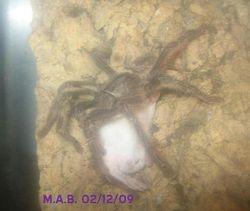 Mature male P. striata
