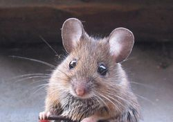 Wood mouse close up