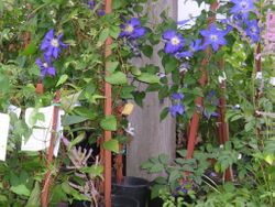 Clematis loaded in Colour