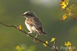 Shrike, ?uhýk obecný (Lanius collurio), Croatia
