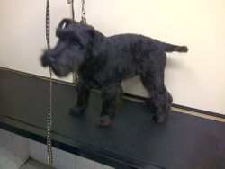 Thats better a pedigree Schnauzer