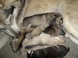Ammik/Chena pups