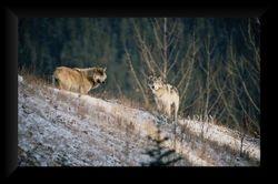 Wolf Pack V