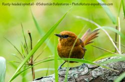 Rusty-headed spinetail - Synallaxis fuscoruf