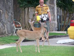 A resort resident feeding them