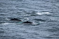 Whales at L'Ance Lamour, Labrador