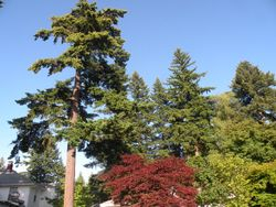 Stately NW Pines