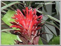 Billbergia pyramidalis $8.00