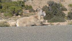 Big horn sheep- Female!