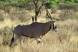 Oryx -Samburu Game Reserve