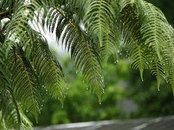 Dripping fern