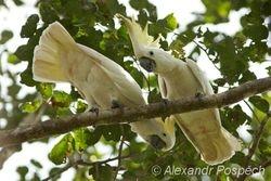 Sulphur-crested Cockatoo (Cacatua galerita), Wanang
