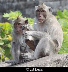 A young macaque just stole eyeglasses from a temple visitor (Uluwatu)