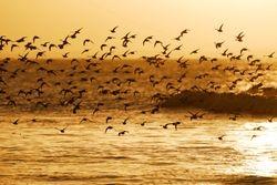 Limicoles au levant - Sandpipers in flight.