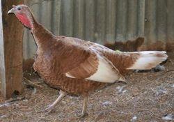 Bourbon Red Hen