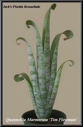 Quesnelia marmorata 'Tim Plowman'  $12.00