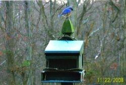 Bluebird in Winter