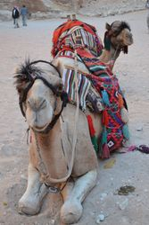 Camel Face 2