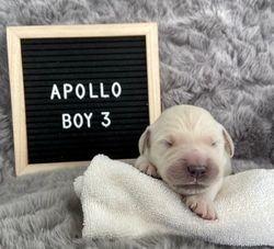 Apollo - Male - Brown Collar
